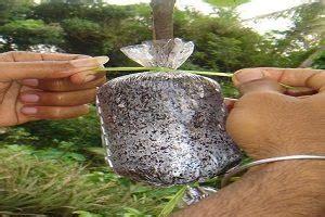 4 cara menanam cangkokan kelengkeng sederhana ilmubudidaya com