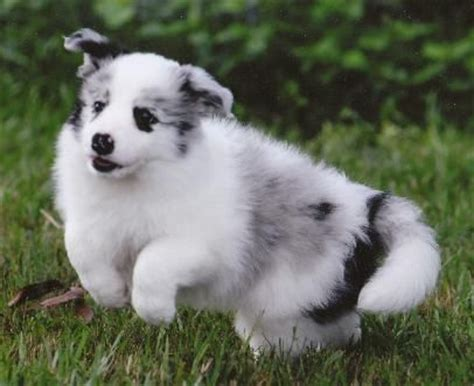 merle border collie puppies 17 best images about shelties on shetland sheepdog border collies and