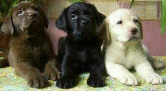 lab colors pet talk in illinois breed focus labrador retriver