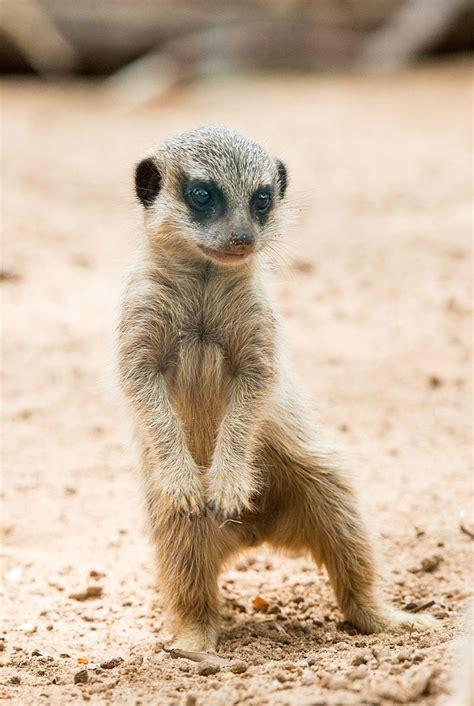 Playtime With Meerkat taronga zoo s meerkat pups given names zooborns