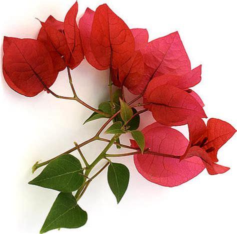 bloemen ziektes bougainvillea bougainville soorten kuipplanten stekken