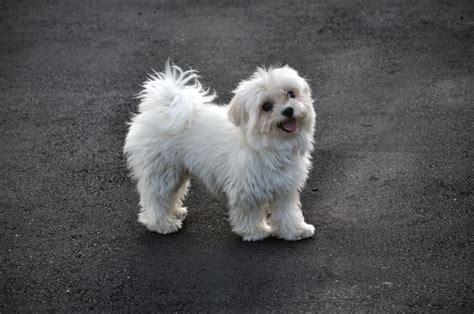 references photos thomas kennel maltese poodles animals taiwan 台灣動物協會 心動我物 部落格 2010 12 19