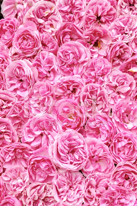 tappeti rosa tappeto di rosa come sfondo fotografie stock