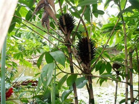 Planter Bag 5 Liter Hitam T1310 2 landscape plants for sale tapeinochilos dahlii black costus