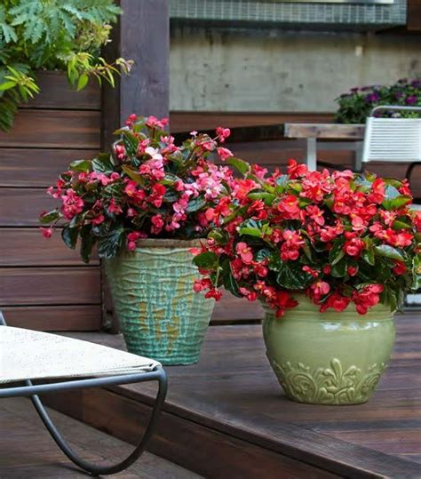 surefire red and surefire rose begonias will grow in the