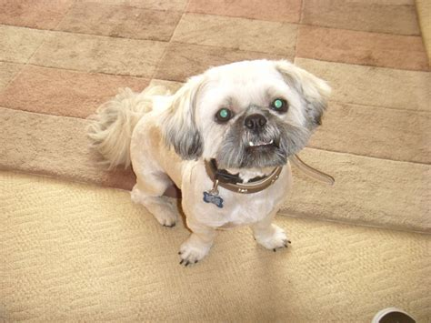shih tzu litter shih tzu to stud of the litter only stoke on trent staffordshire pets4homes
