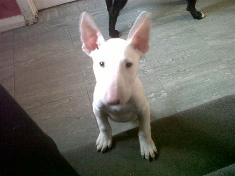 puppy bull terrier bull terrier puppy for sale solihull west midlands pets4homes