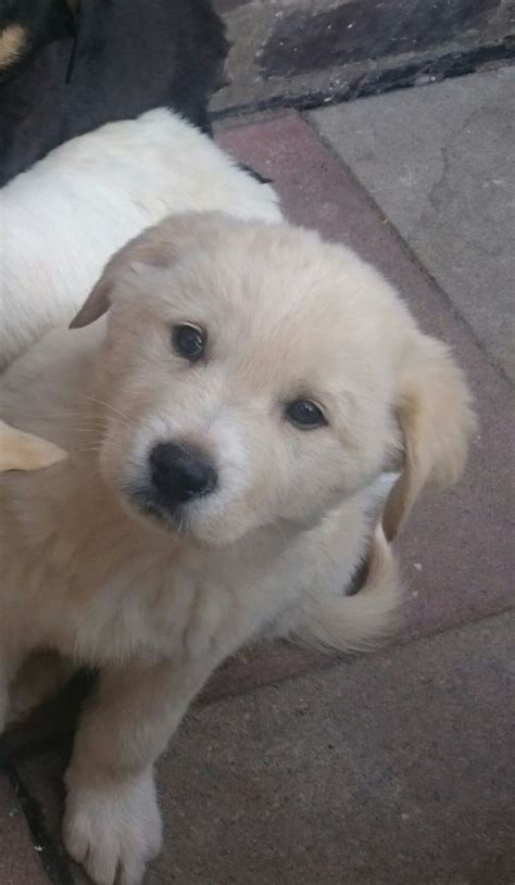 akita golden retriever golden retriever x akita reduced carlisle cumbria pets4homes