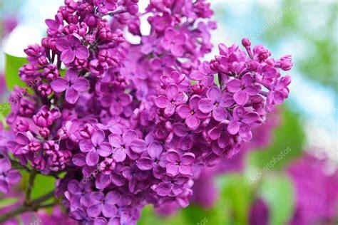 cespuglio fiori viola viola lilla cespuglio in fiore foto stock 169 taden1