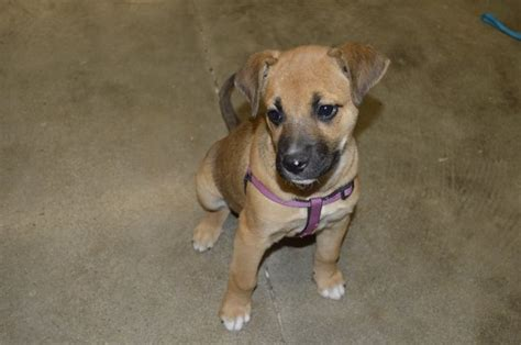 puppies at petco bridgehton news sweetest rescue holding adoption events at petco in