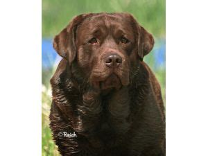 chocolate lab puppies maine labrador retriever puppies for sale