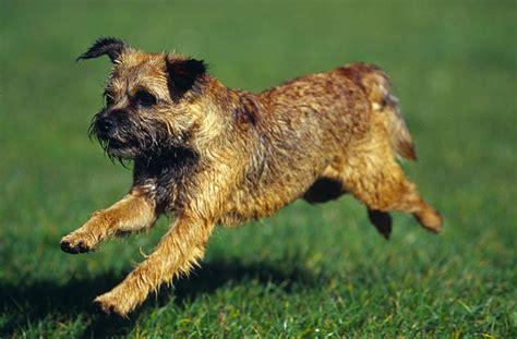 Border Terrier   PARTNER HUND Magazin