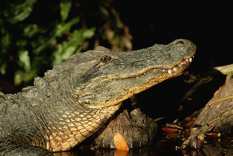 Alligator Attacks Can Be Deadly But Are Quite Rare
