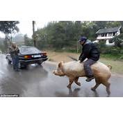 Chinese Farmer Rides His Pig To Market After Illness Left Him Too Sick