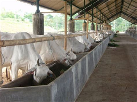 Tempat Makan Ternak Babi gambaran usaha budidaya penggemukan sapi pusat sumber