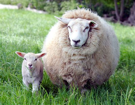 lambs and l file ewe and in kent jpg