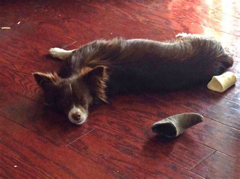chiweenie pomeranian mix kokaa the chiweenie papillon taking a snooze poopays papillons and the