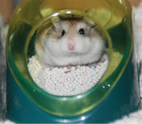 how to litter a how to your hamster to use a litter box pethelpful