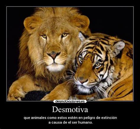 imagenes de leones vs tigres tigre contra leon bing images