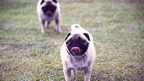 pug infected wrinkle bathing a pug s wrinkles petcarerx
