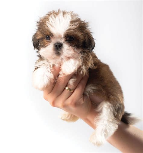how to mate shih tzu dogs 10 things you need to about the shih tzu breed