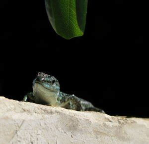Lu Reptil free stock photos rgbstock free stock images lizzard
