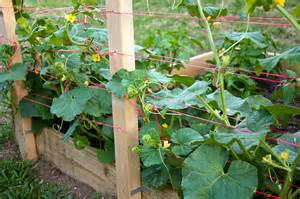 growing cantaloupe on a trellis 301 moved permanently