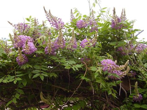 plantfiles pictures american wisteria wisteria frutescens by jisliss