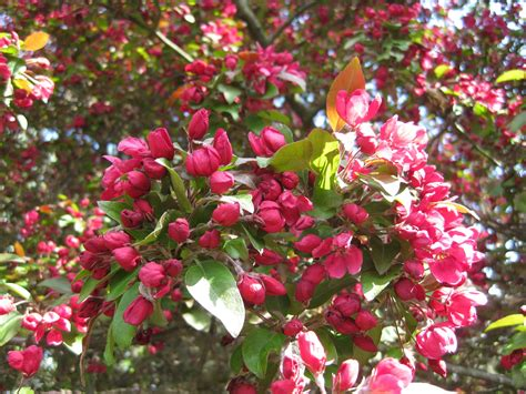 ornamental crab apple tree newenglandgardenandthread