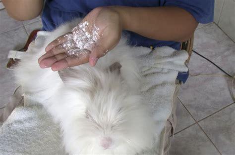 Bedak Jamur Kucing kelinci wong kito tips cara memandikan kelinci