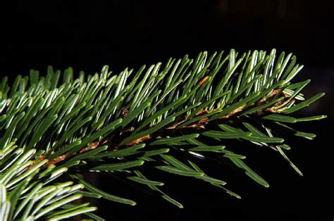 where to buy live christmas trees in the blue mountains
