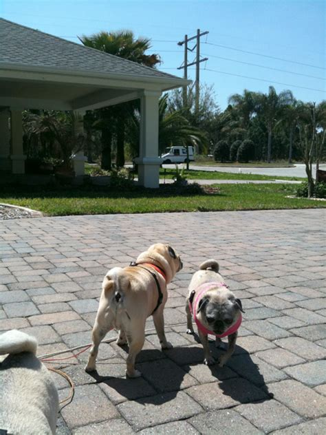 why do dogs bark at the mailman clich 233 the pug