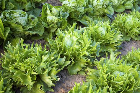 select  grow lettuce