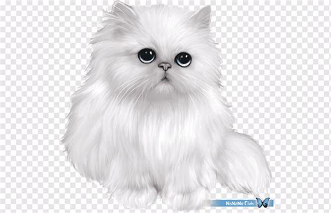british shorthair  ragdoll cat kucingcomelcom