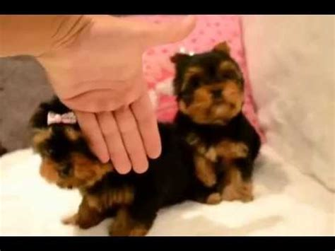 what is a cotton coat yorkie baby face extreme cotton coat yorkies youtube
