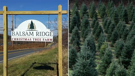 10 best christmas tree farms in florida a day in the of a tree farm