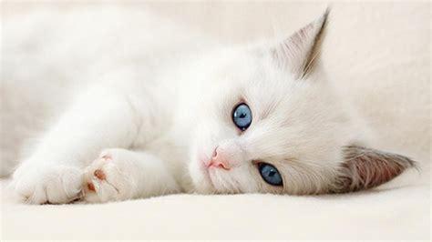 wallpaper cat white cute white cat wallpaper full hd pictures
