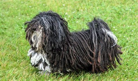 corded havanese 94 best images about cords on poodles poodles and show