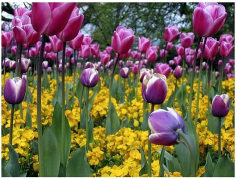 kew garden flowers with purple tulips and bright yellow