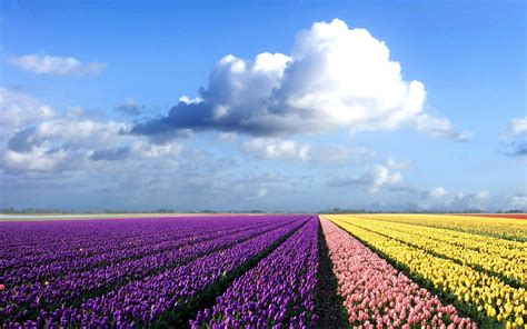 netherlands tulip fields wallpapers netherlands flower fields