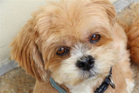 how can you tell how big a puppy will get what is a typical lhasa apso litter size animal friends