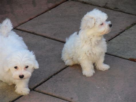 bolognese for sale bolognese rescue puppies related keywords bolognese rescue puppies