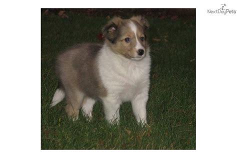 sheltie puppies for sale wisconsin shetland sheepdog sheltie puppy for sale near kenosha racine wisconsin f916019e 2371
