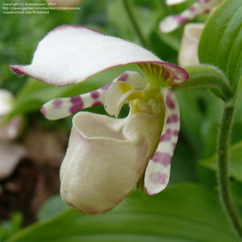 slipper orchids plantfiles pictures species orchid slipper orchid