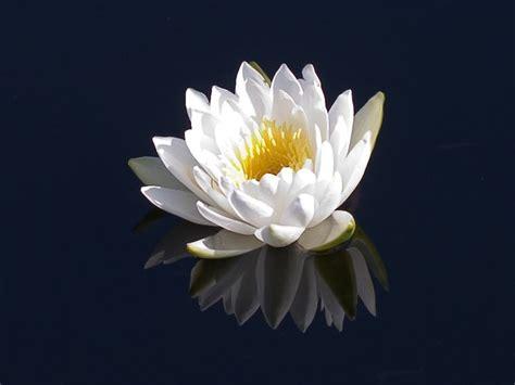 fiore ninfea nymphaea nymphaea piante acquatiche nymphaea