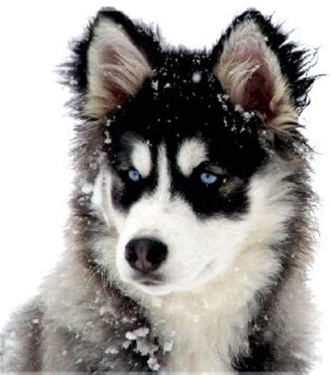 wolf puppies for sale in wolf hybrid puppies for sale check us out in hoobly