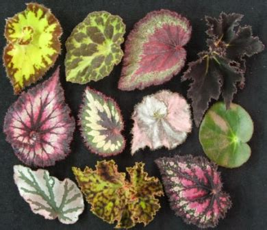 begonias for beginners