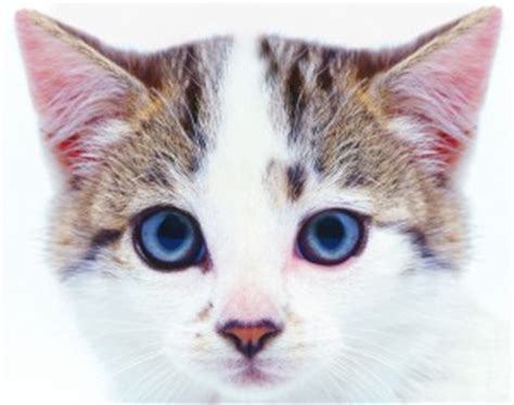 itchy ears shaking home remedy how to use home remedies for cats with ear mites rochester pet pages