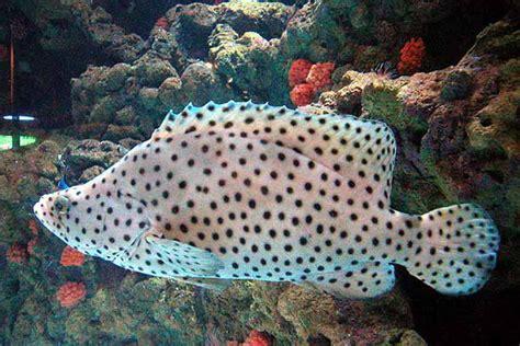 Bibit Ikan Kerapu Bebek kerapu budidaya ikan ikan hias resep ikan gambar