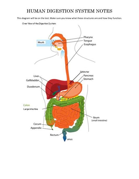 diagram digestive system labelled diagram of human digestive system anatomy list